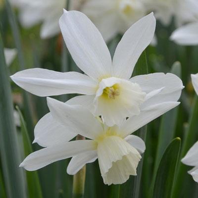 Bio-Narzisse - Narcissus triandrus 'Thalia'