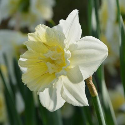 Narcissus Ice King - Gegüllte Narzisse - Blumenzwiebelversand