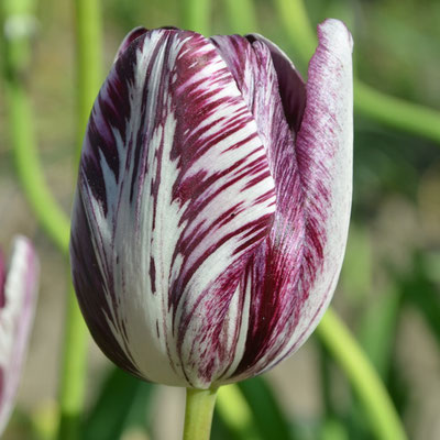 Rembrandt-Tulpe - Tulipa 'Insulinde' - Historische Tulpe