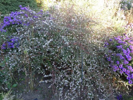 Aster ericoides - weißblühend