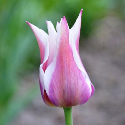 Lilienblütige Tulpe 'Ballade' - magenta mit weißem Rand