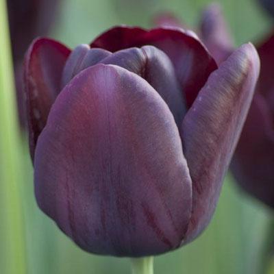 Einfache späte Tulpe 'Queen of Night' - schwarze Tulpe mit pupurnem Schimmer