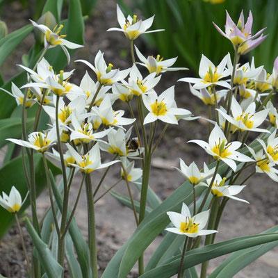 Weiße Wildtulpe Tulipa turkestanika