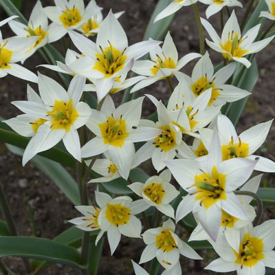 Wildtulpe Tulipa turkestanica - Gnomen-Tulpe - weiß mit gelber Mitte