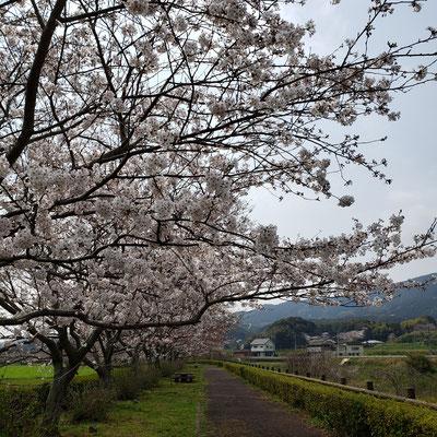 波佐見町 川沿いの桜