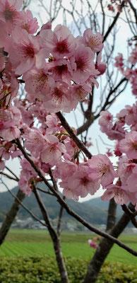 波佐見町 桜