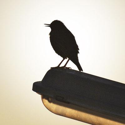 vogel-morgen-laterne-grafik-thielen-grafikdesign-logodesign-webdesign-bilddesign