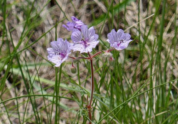 Knolliger Storchschnabel Geranium tuberosum
