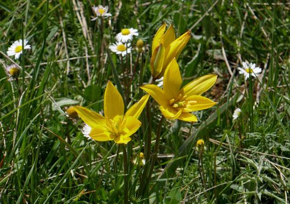 Südliche Tulpe Tulipa australis