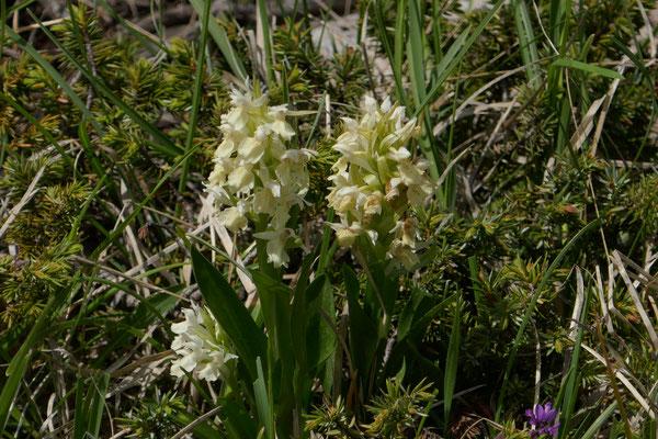 Holunder-Knabenkraut Dactylorhiza sambucina