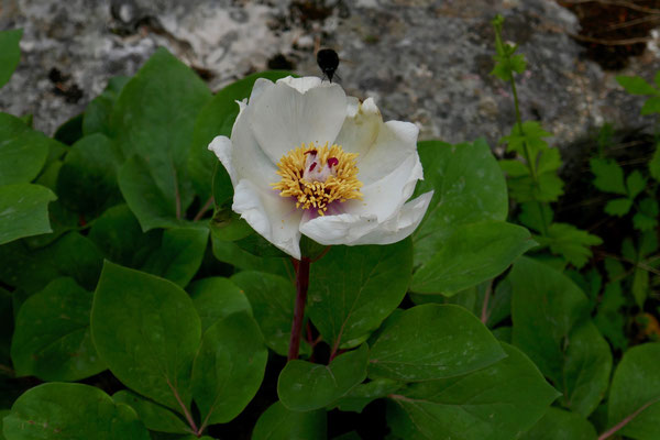 Paeonia parnsassica (Endemit)