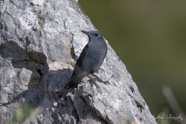 Blue Rock Thrush