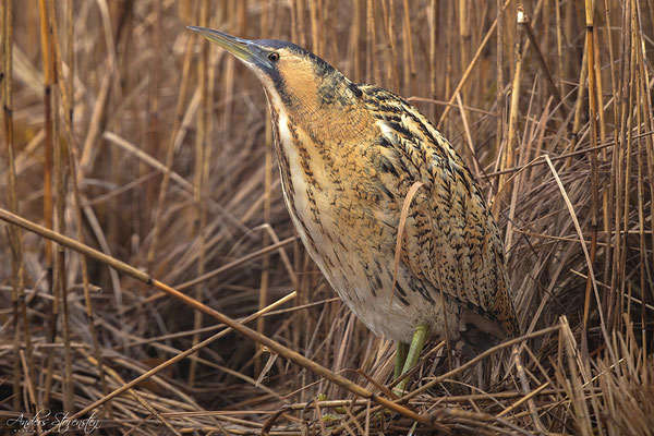 Great Bittern