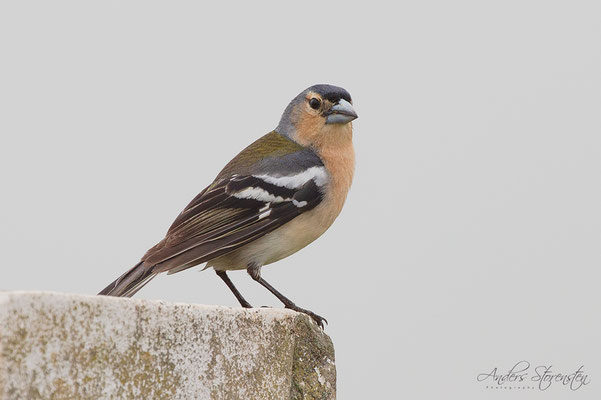 Azores Chaffinch