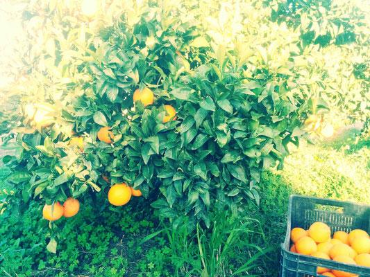 Raccolta arance di Ribera Navelina