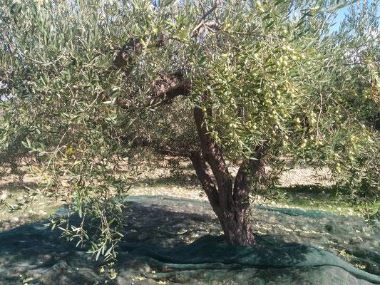 raccolta a mano olive