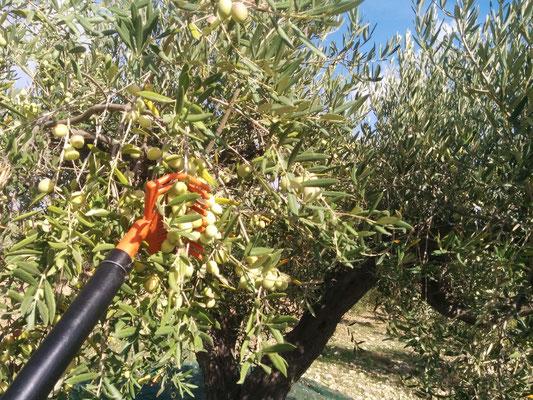 olive biancolilla raccolta
