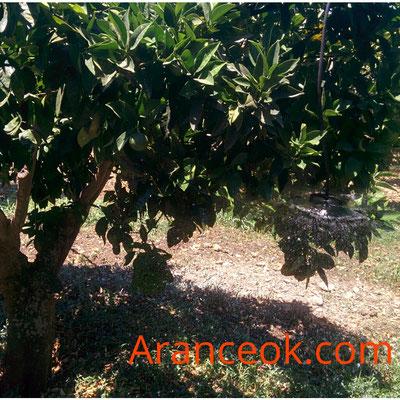 Irrigazione arance ribera
