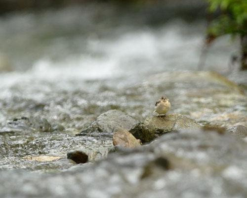 Bergeronnette des ruisseaux juvenil