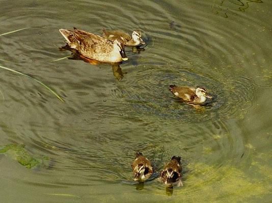 親と雛4羽