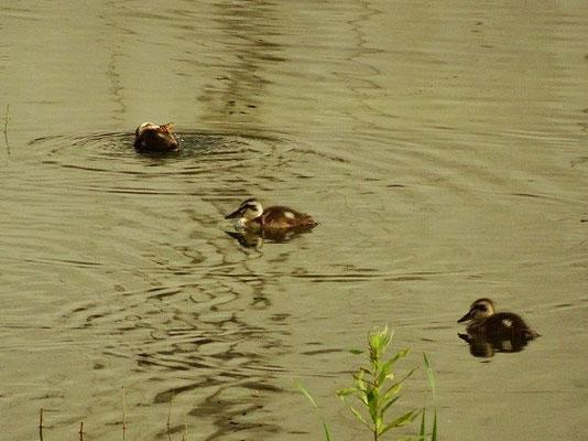 ・一昨日は見落とした雛4羽の健在を確認。 1羽は、階段の下に隠れていた。