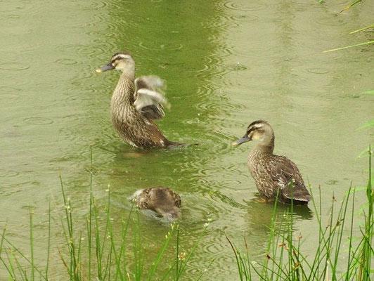 ◎ カルガモ雛4羽は健在。翼はまだ小さい。 10羽居た子は半減。どこかへ移動したみたい。