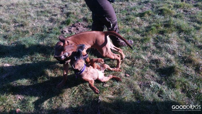 Hundeschule GOOD DOGS - Heusenstamm - Rodgau - Welpenerziehung - Welpenspiel