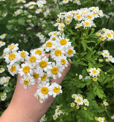 Mutterkraut - Reise durch den Kräutergarten