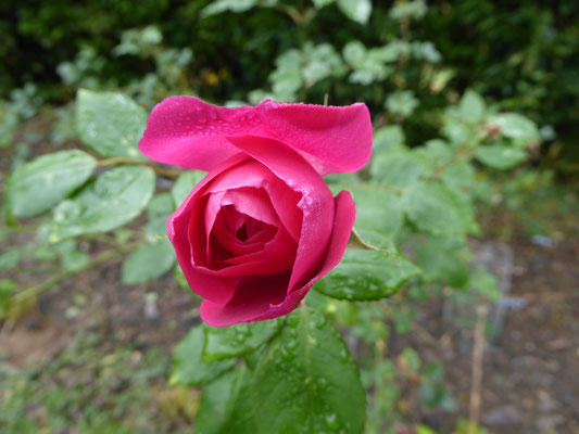 Rose 'Adam Messerich' Kordes 1956