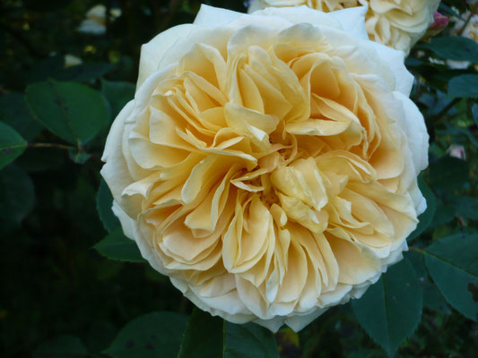 Rose 'Molineux'