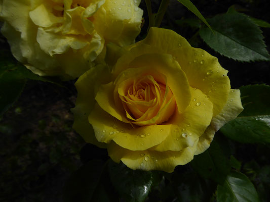Rose 'Lucia'