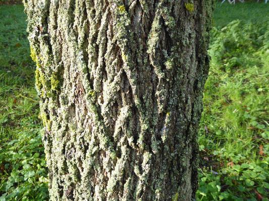 Juglans nigra (noyer noir)