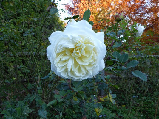 Rose 'Abraham Darby ' 1985