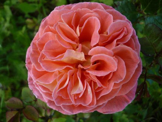 Rose 'Notre Dame du Rosaire'