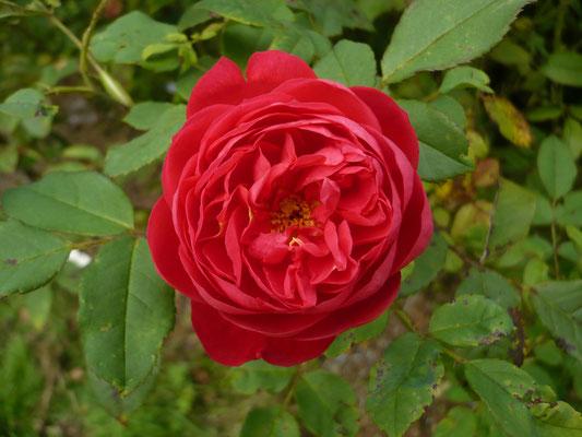Rose 'Benjamin Britten'