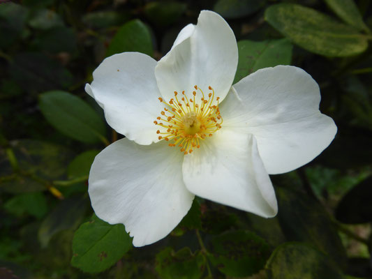 Rose 'Kew Gardens'