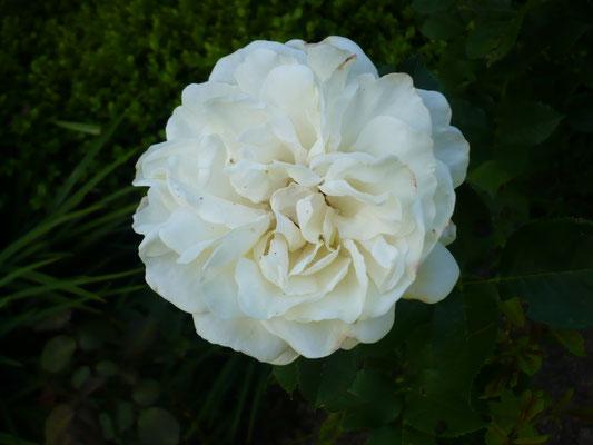Rose 'Renaissance'