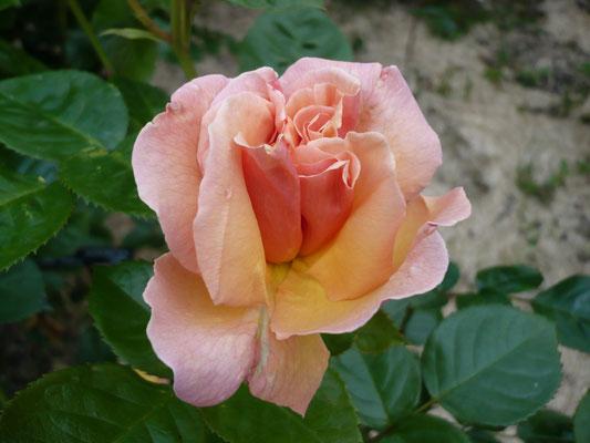 Rose Martin des Senteurs