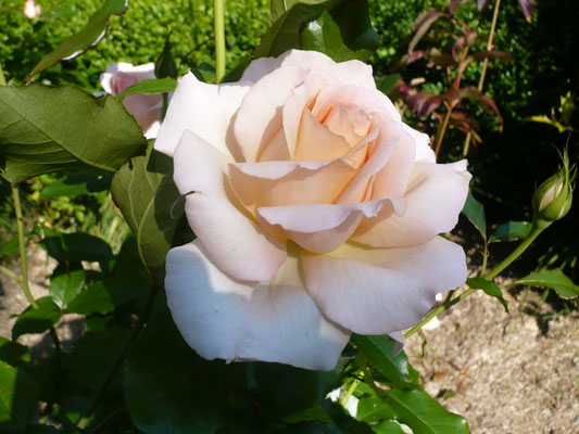 Rose 'Sweet love'