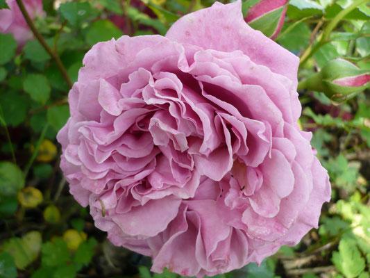 Rose 'Agnès Shillinger'