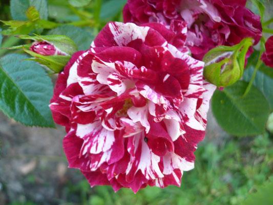 Rose 'Pzazz'