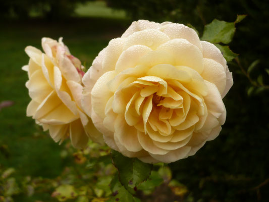 Rose 'Concerto'
