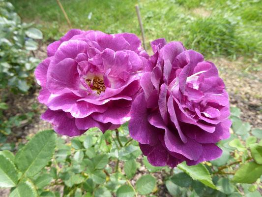 Rose 'Mystérieuse'