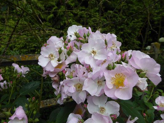 Roses 'Jeanne de Chédigny'
