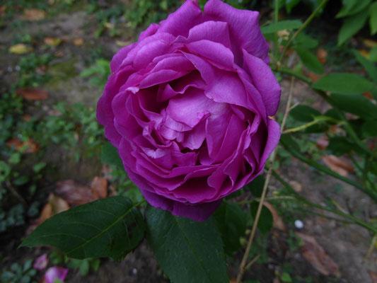 Rose 'Baron Gonella'   Lambert 1859