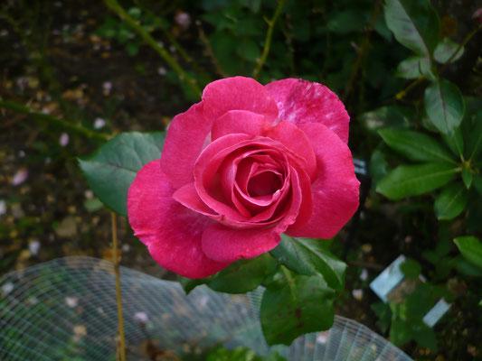 Rose 'Baronne de Rotschild'