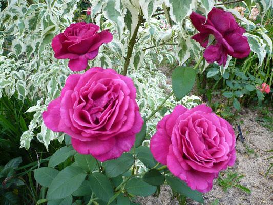 Rose 'Greffe de Vie'