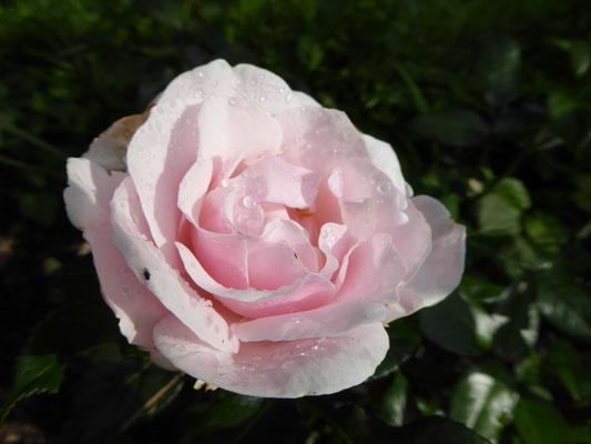 Rose 'Gilles de Brissac'  2013
