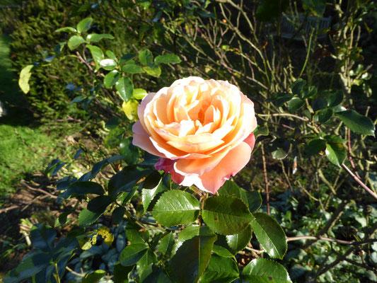 Rose 'Marie Curie'