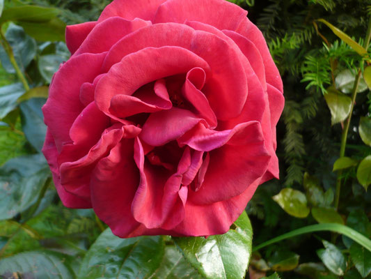 Rose Le Grand Huit